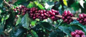 specialty-coffee-volcan-azul-costa-rica-lartisanes-torrefaction
