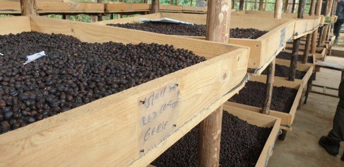 Guji Dambi Uddo Bio Ethiopie Nature Specialty Coffee by L'Artisanes